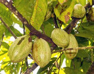 baies de cacao