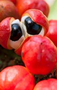 fruits de guarana